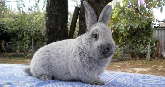 Особенности содержания и разведения серебристого кролика