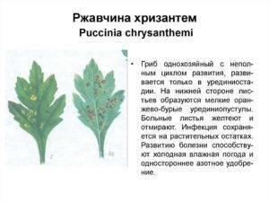 Как защитить хризантемы от болезней и вредителей