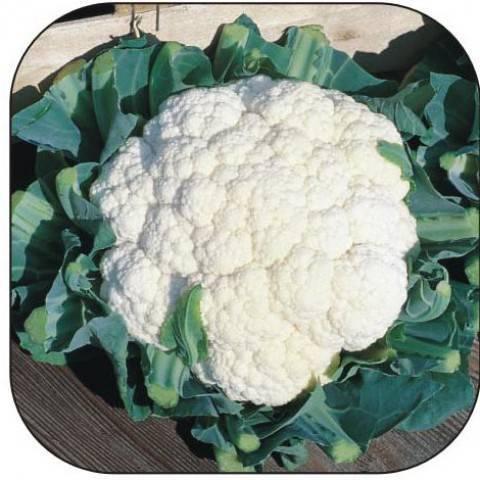 Руководство по выращиванию цветной капусты – от посева семян до сбора урожая