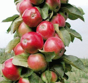 Лучшие сорта колонновидных яблонь
