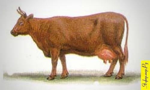 Такие разные коровы: обзор пород