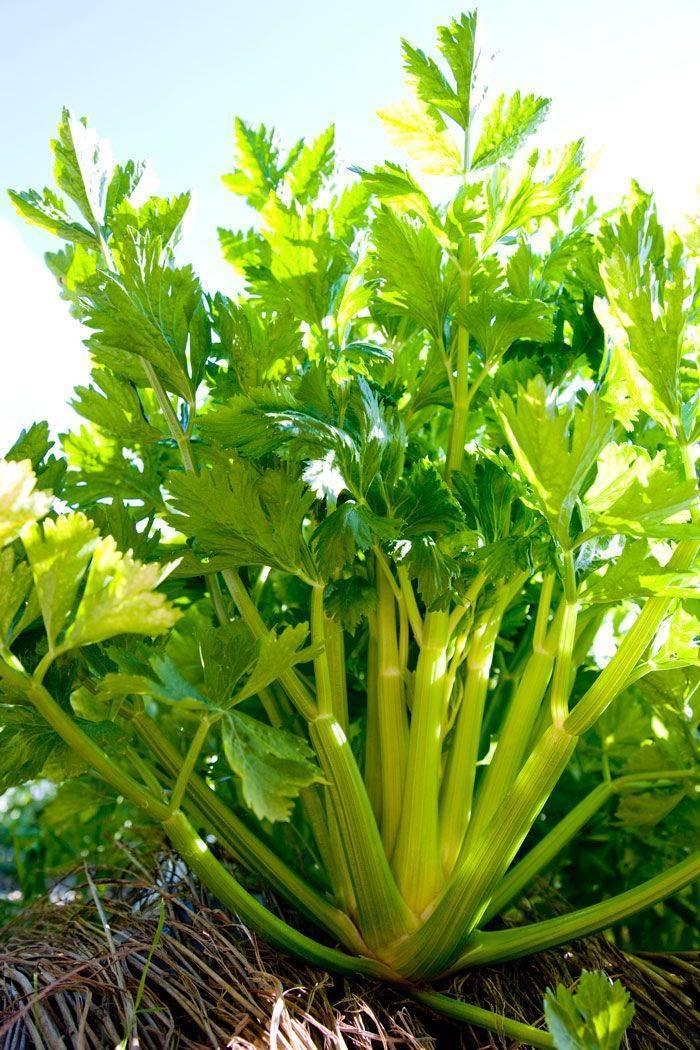 Посадка корневого сельдерея: как сажать и выращивать в открытом грунте