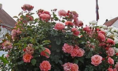 О розе мари кюри (marie curie): описание и характеристики, выращивание