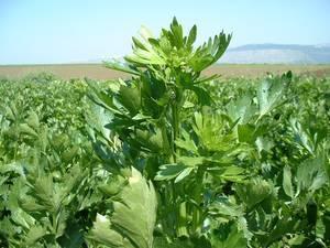 Правила посадки семян сельдерея для выращивания рассады