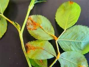 Почему желтеют листья у розы комнатной и появляется паутина