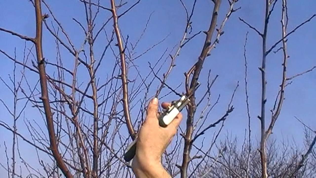 Как правильно провести обрезку сливы по весне?