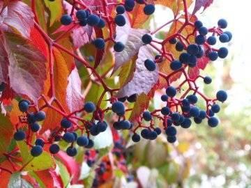 Девичий виноград из семян: посадка и уход, инструкции + советы