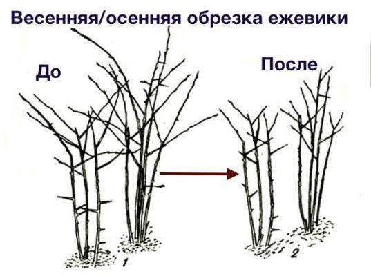 Обрезка садовой ежевики весной и формировка бесшипного куста для начинающих
