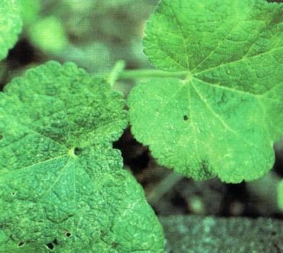 Лекарственное растение мальва: фото цветка, полезные свойства, лечебные рецепты и инструкции по применению