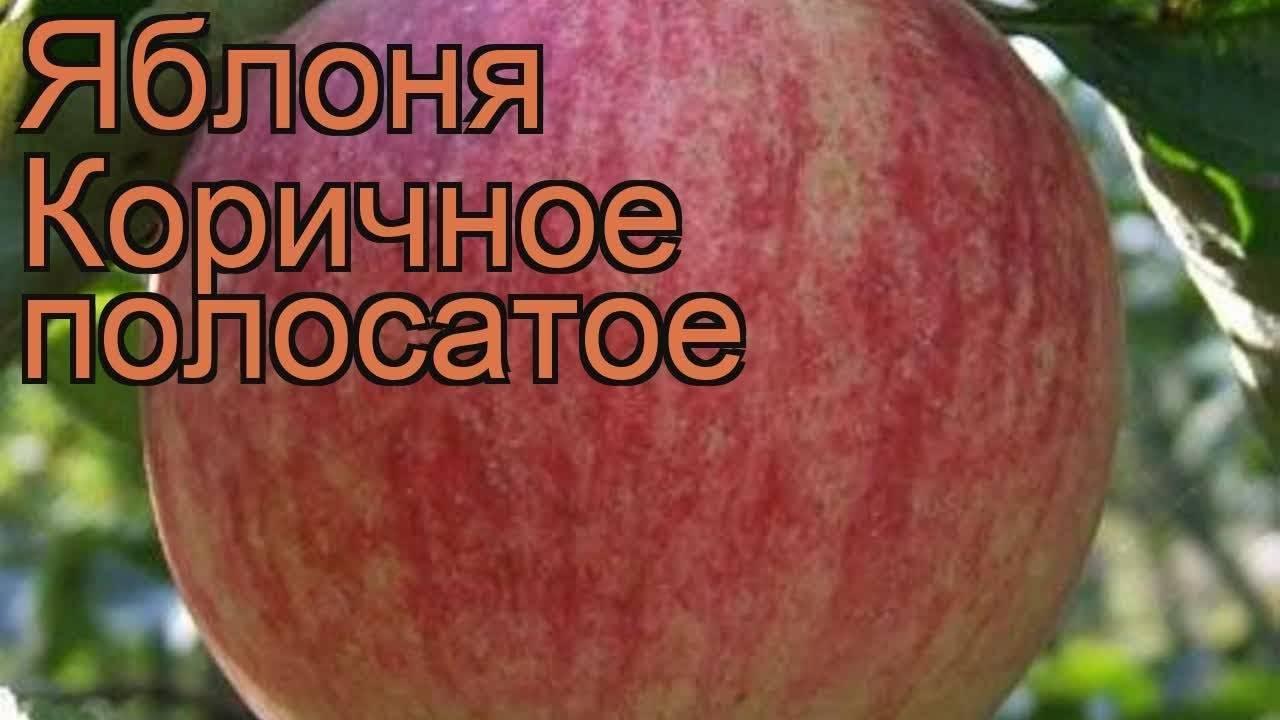 Осенний сорт яблоня коричное полосатое: фото, выращивание на участке