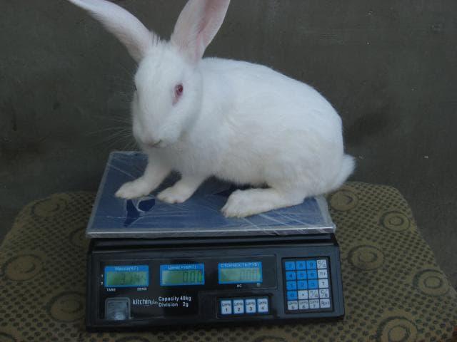 Бройлерная порода кроликов белый паннон - общая информация - 2020
