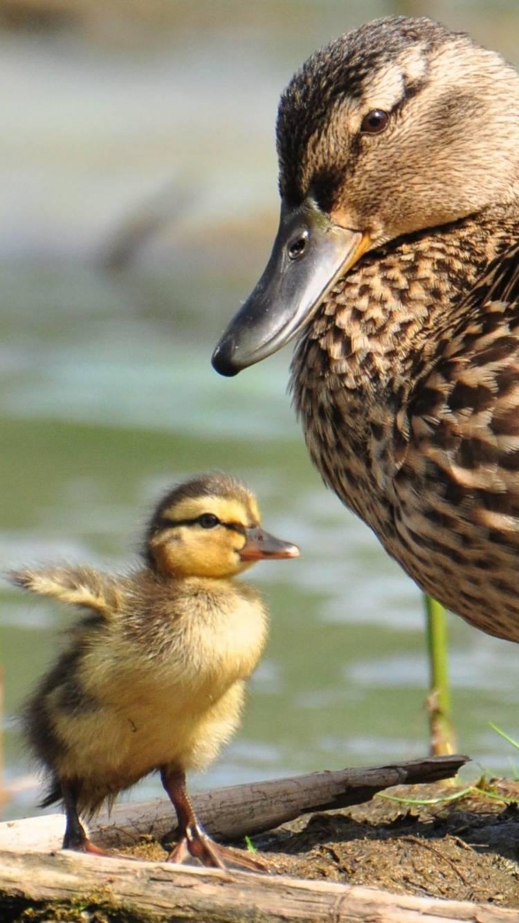 Дикая утка: описание, содержание, кормление