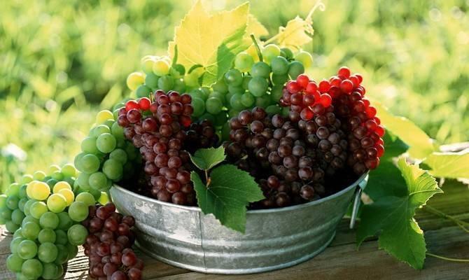 Морозостойкий и лечебный сорт винограда «краса севера»