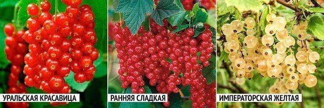 Красная смородина уральская красавица