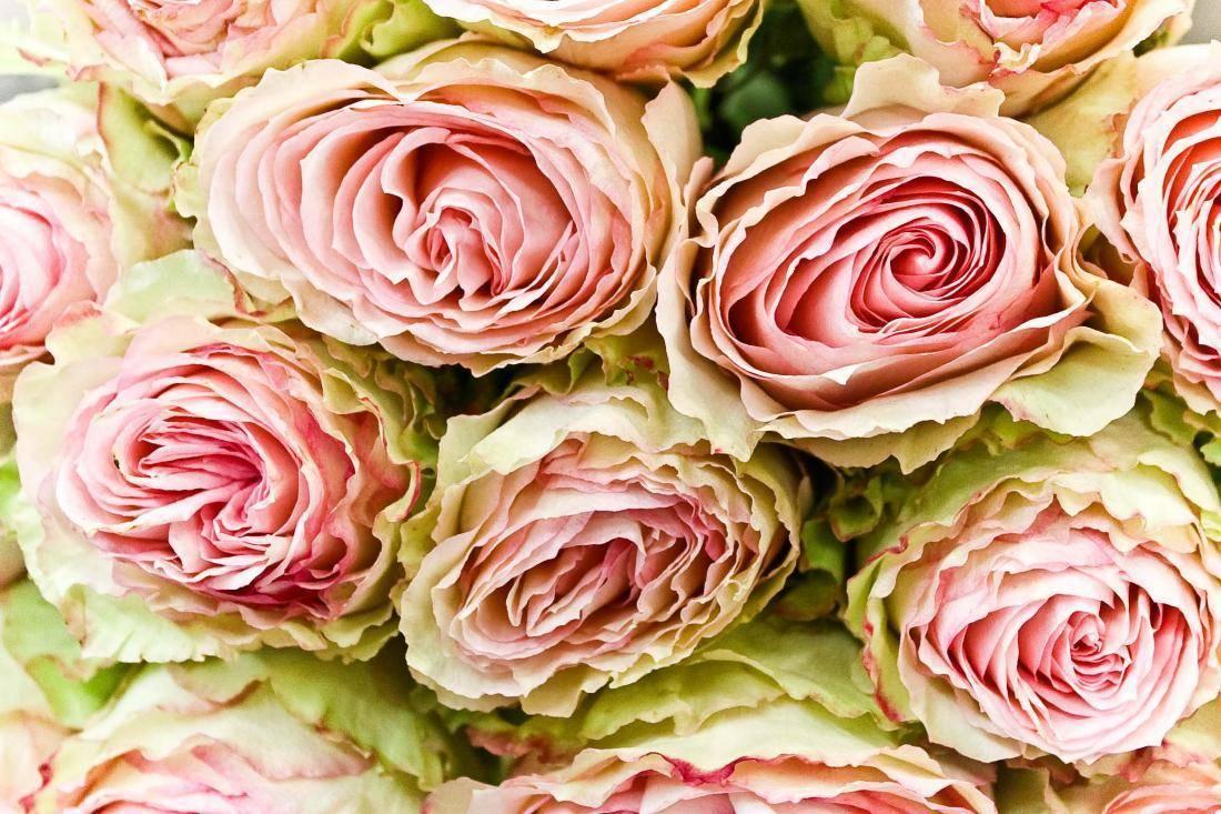 Почему и что делать, если не цветут розы: возможные причины и способы лечения