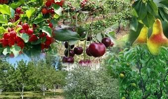 Дерево грецкий орех совместим с какими кустарниками. совместимость плодовых деревьев в вашем саду