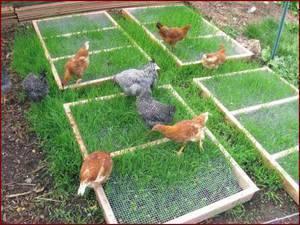 Мука из крапивы для кур. чем нельзя кормить куриц: рекомендации птицеводов