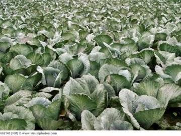 Благоприятные дни для посева и посадки капусты в 2020 году