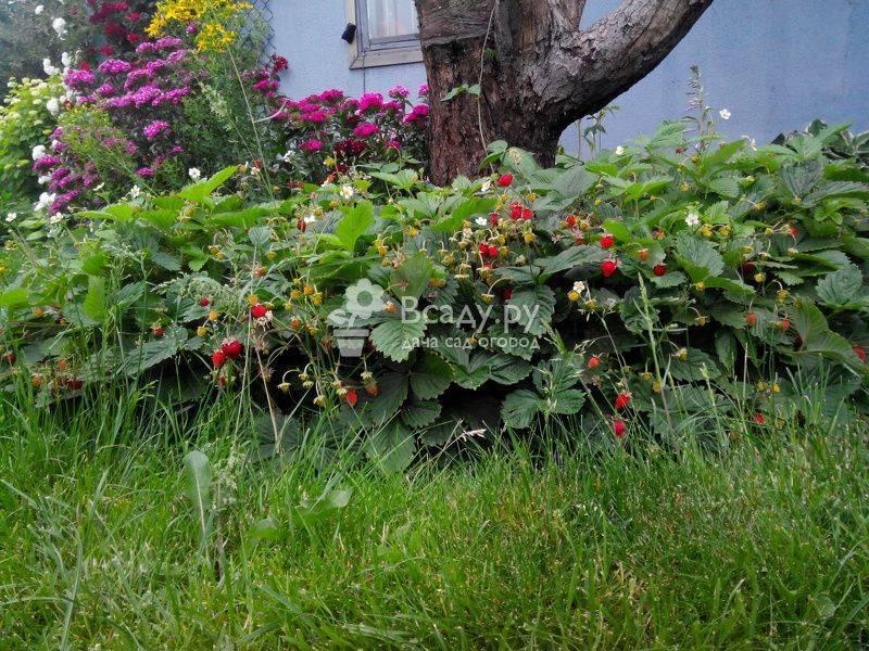 Выращиваем из семян альпийскую землянику