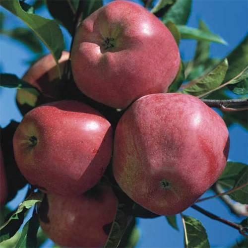 Яблоня глостер — страна происхождения, посадка и уход, видео