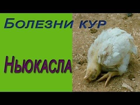 Псевдочума или болезнь ньюкасла у кур, голубей, индюков и других птиц