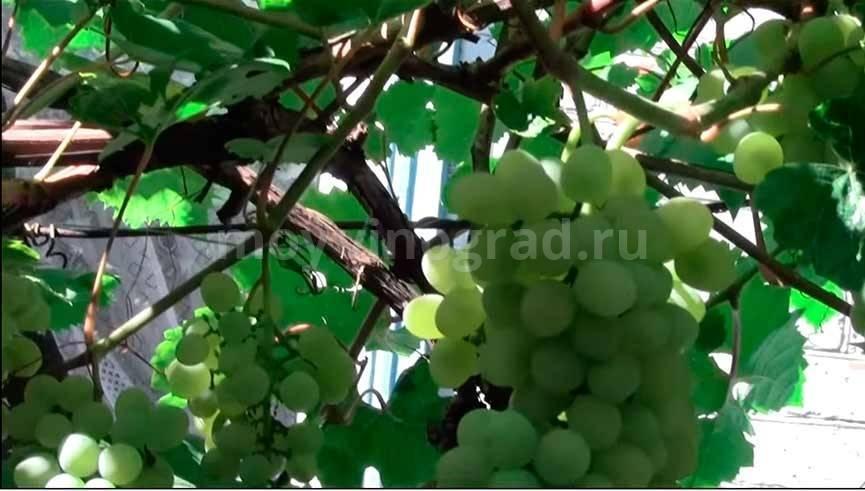 Достижение венгерских селекционеров — сорт винограда «кристалл»