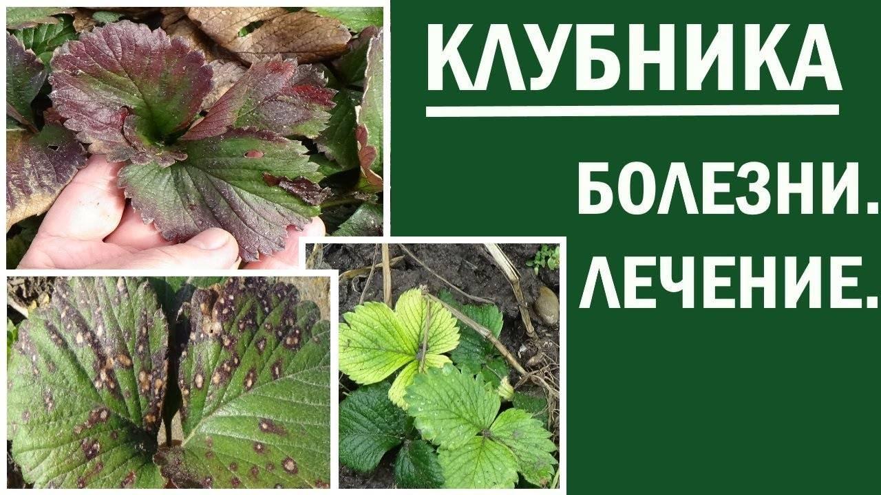Почему краснеют листья на груше, что делать