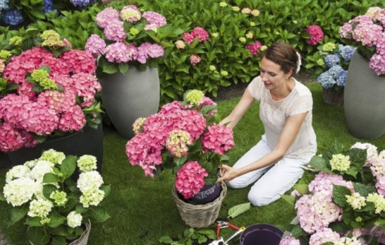 Можно ли пересадить цветущую гортензию из магазина