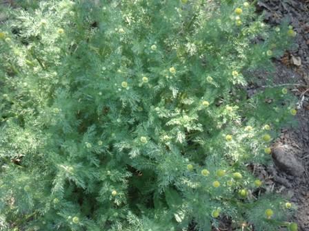 Чай из полевой ромашки. ромашка: полезные свойства и противопоказания