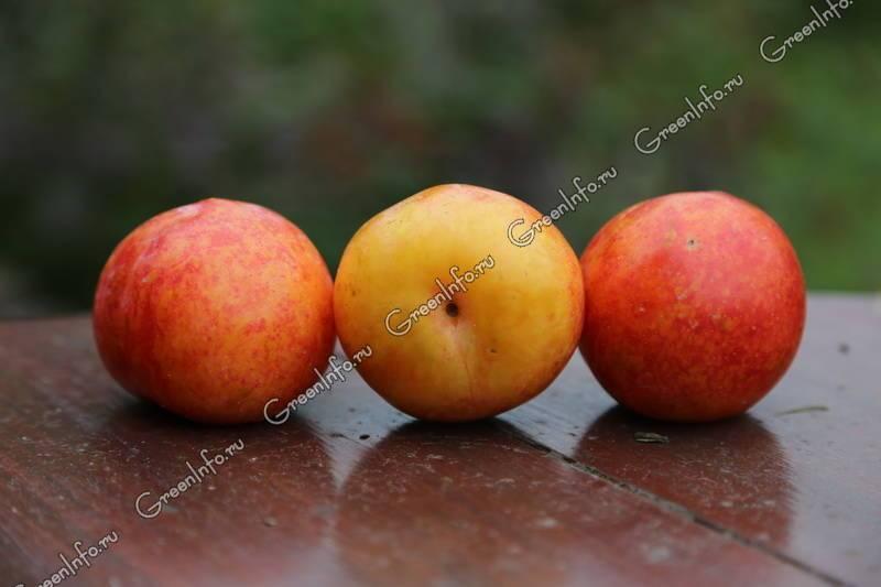 Самые необычные гибриды абрикоса, персика, сливы и яблока