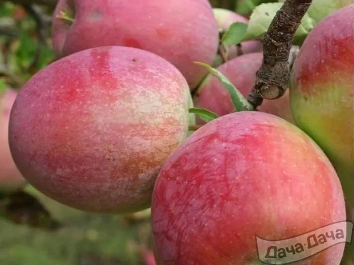 Яблоня первинка