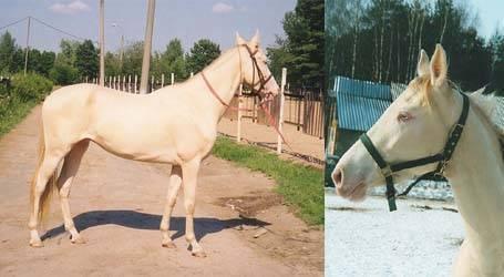 Ахалтекинская лошадь – особенности уникальной породы, размер, вес и основные масти животного