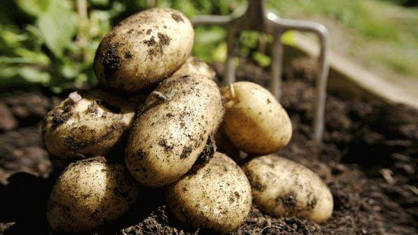 Как прорастить картофель для посадки – 3 быстрых метода