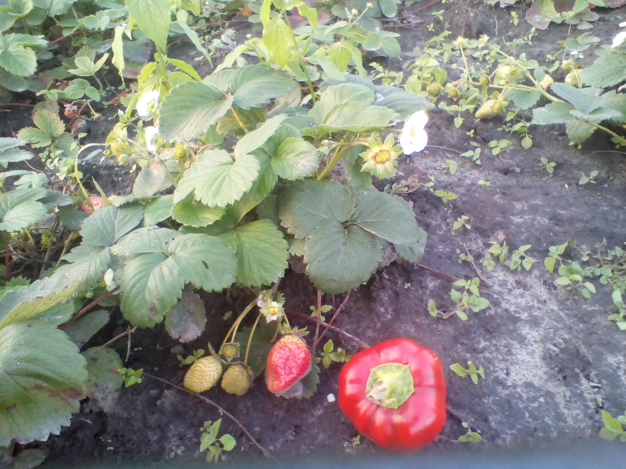 Сорт клубники «сельва»: описание и основные рекомендации по выращиванию