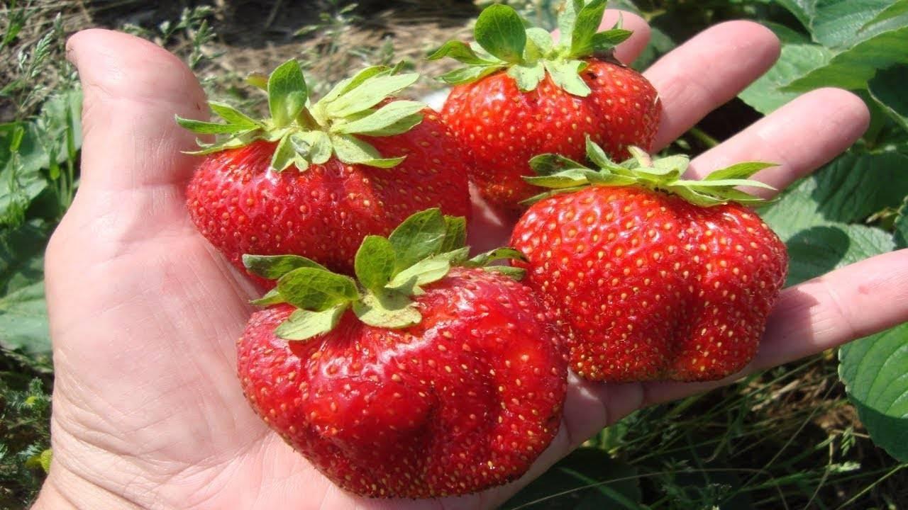 Клубника маршал: описание сорта, особенности выращивания