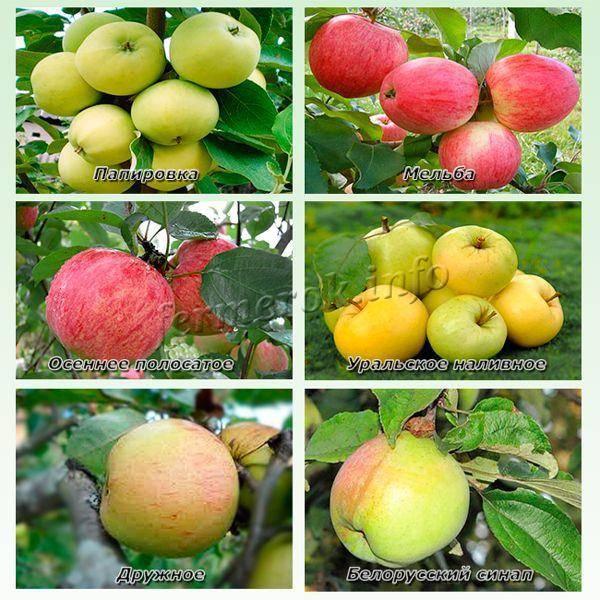 Колоновидная яблоня для Ленинградской области: подходящие сорта, выбор саженца