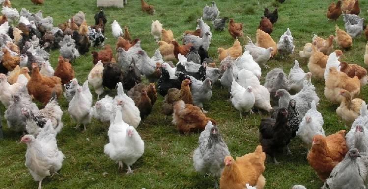 Классическая мясо-яичная порода кур из англии орпингтон