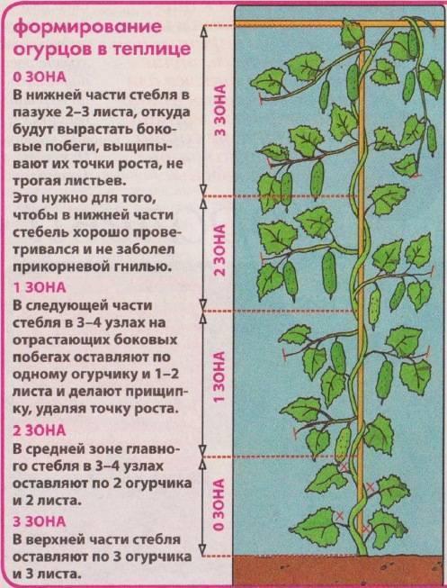 Надо ли обрезать листья у огурцов