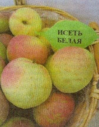 Характеристика поздних сортов яблок