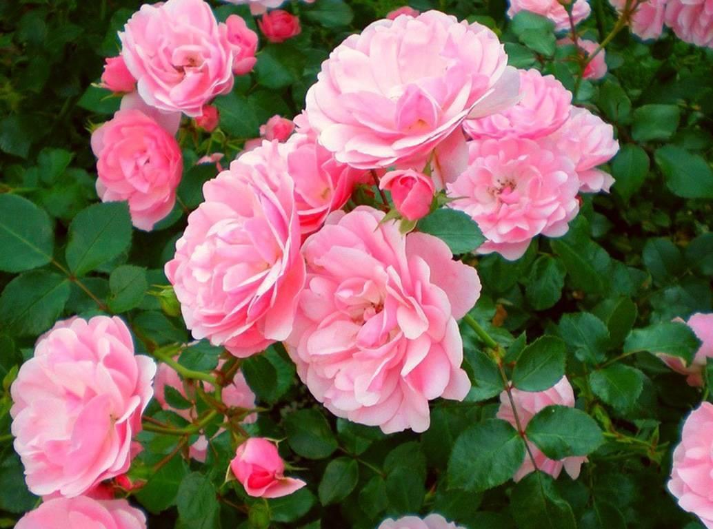 Чайная роза в горшке, посадка, размножение и уход в домашних условиях