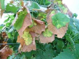 Почему у сливы сворачиваются листья, увядает листва, как бороться с листоверткой