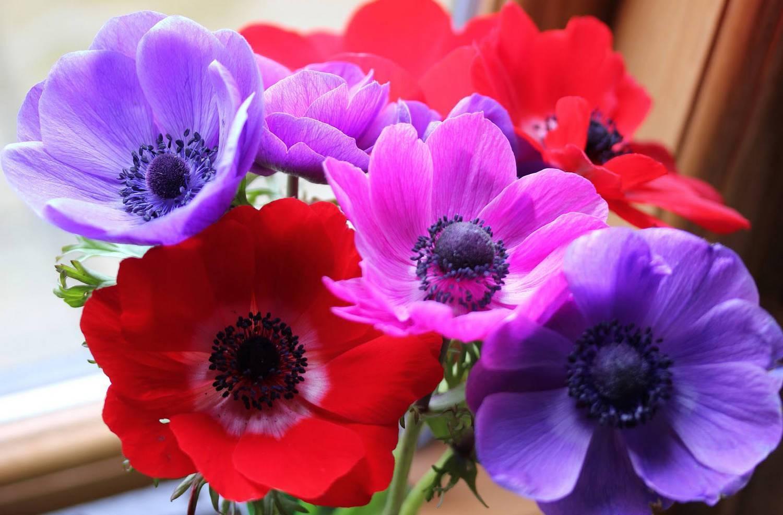 Цветок ветреница: описание видов, посадка и уход