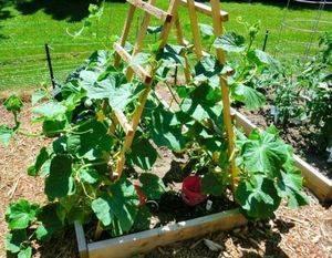 Огурцы: посадка и уход в открытом грунте, как вырастить из семян, фото