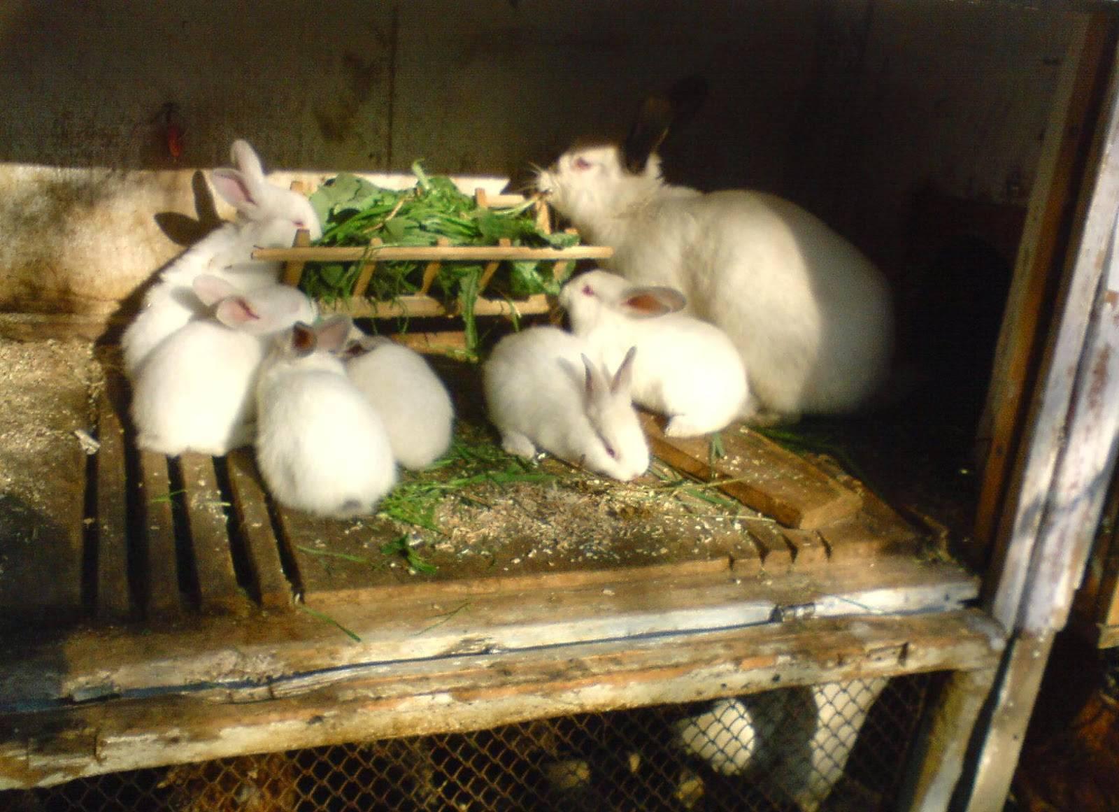 Кормление и поение кроликов