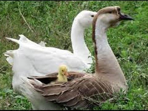 Вывод гусят под наседкой — птицеводство. разведение гусей -> вывод  гусят