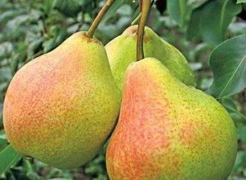 Груша памяти яковлева: выращиваем зимостойкий и урожайный сорт