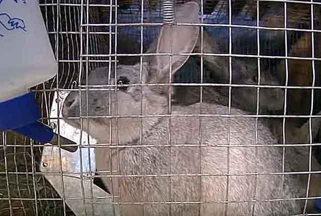 Понос у кролика