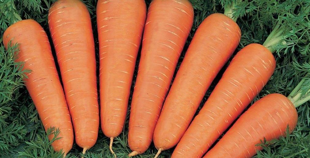 Подкормка моркови в открытом грунте при посадке и выращивании