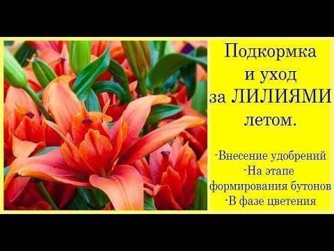 Чем подкармливать лилии в период цветения, как правильно удобрять