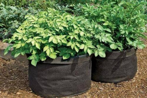 Картофель из семян: как вырастить суперэлитный урожай